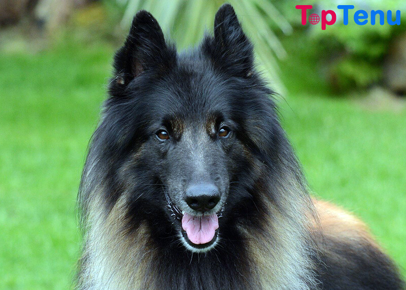 police dog breeds, Top 15 Best Police Dog Breeds in the World