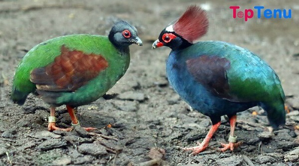 Beautiful Crown Birds, Top 10 Beautiful Crown Birds in the World