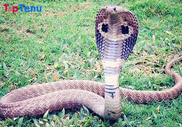 Venomous Snake, Top 10 Most Venomous Snake in the World