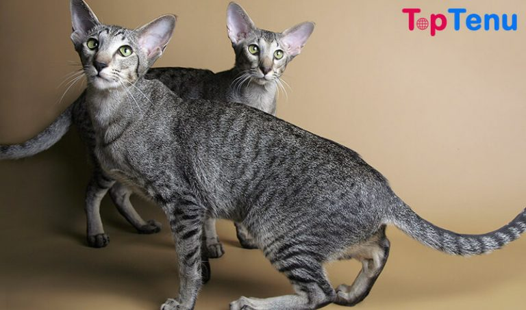 Top 15 Most Weird Cat Breeds in The World
