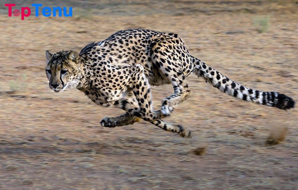 fastest animals, Top 10 Fastest Animals in the World