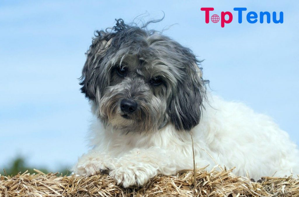 Most Expensive Dog Breeds, Top 10 Most Expensive Dog Breeds in the World