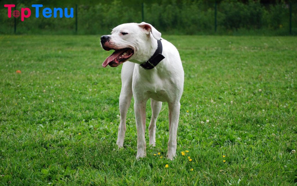 Aggressive Dog Breeds, Top 10 Most Strong and Aggressive Dog Breeds