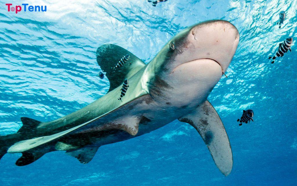 Deadliest Sharks, Top 5 Most Deadliest Sharks for Human in the World