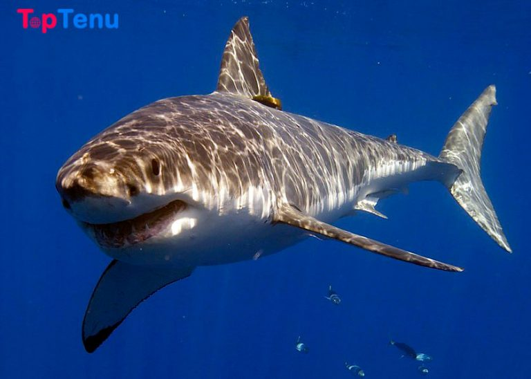 Top 5 Most Deadliest Sharks for Human in the World