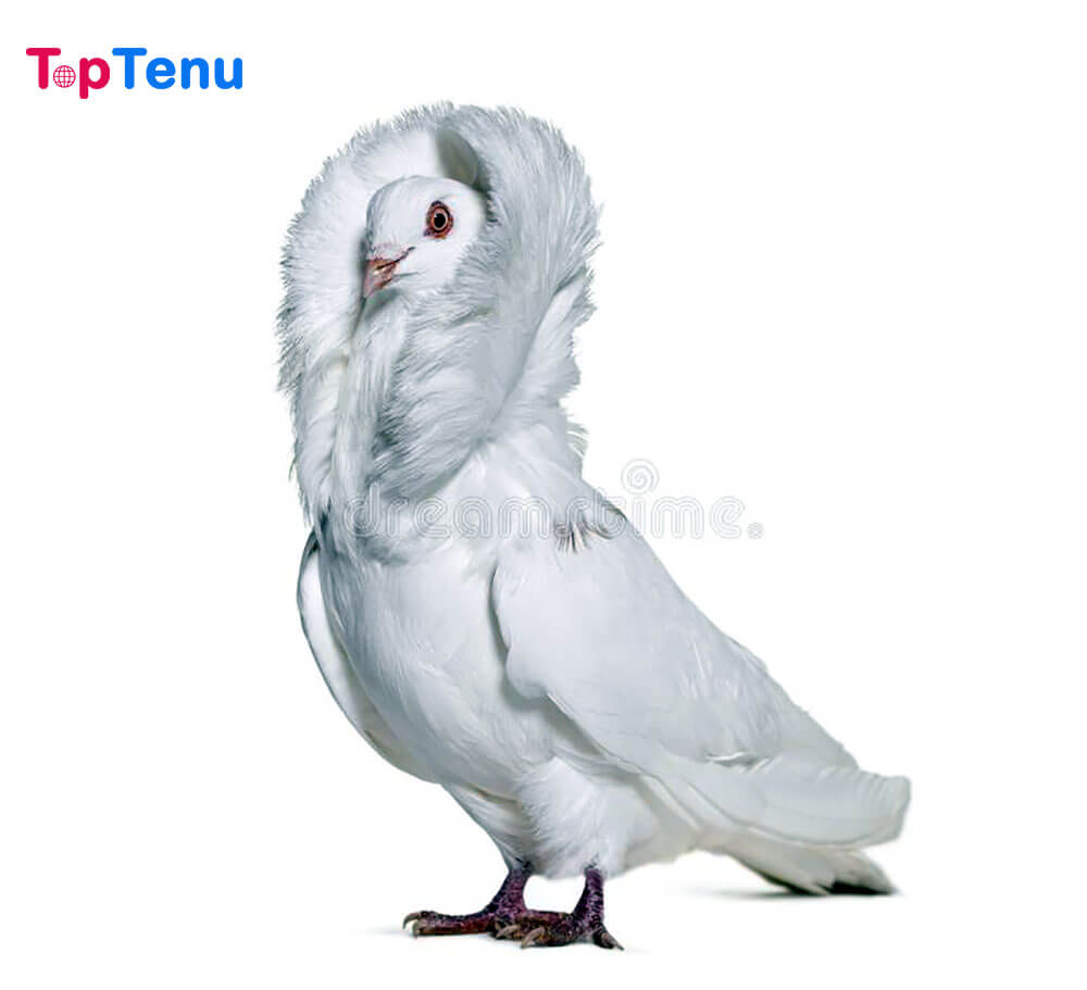 Beautiful Pigeons, Top 10 Most Beautiful Pigeons in the World